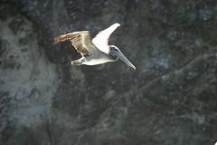CA Brown Pelican