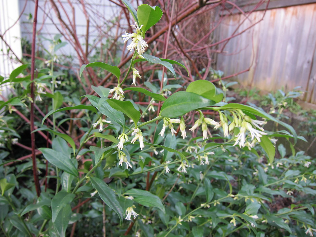 Sarcococca ruscifolia blooms on January 14