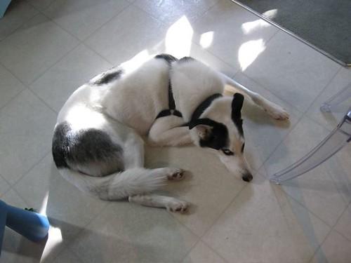 Dougal Dog
