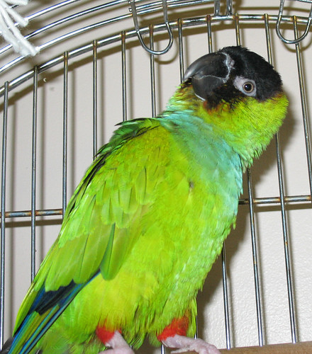 Nanday Conure Chatter