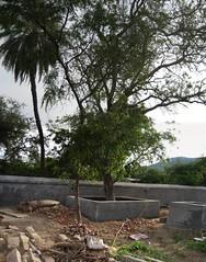 Vilva Tree.. (by Raju's Temple Visits)