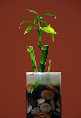 Bamboo In Office