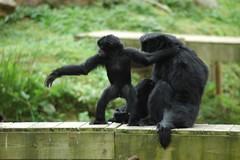 Siamangs im Zooparc de Trégomeur
