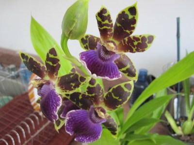 Zygopetalum flowers