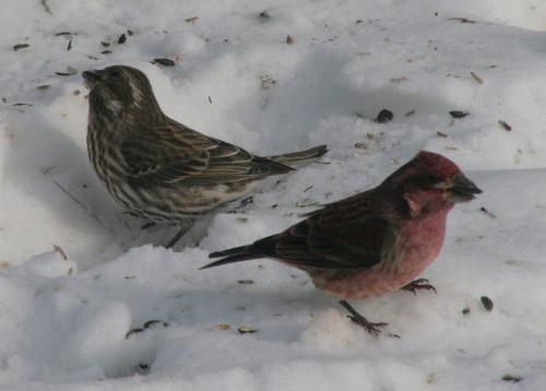 Purple Finch - pair