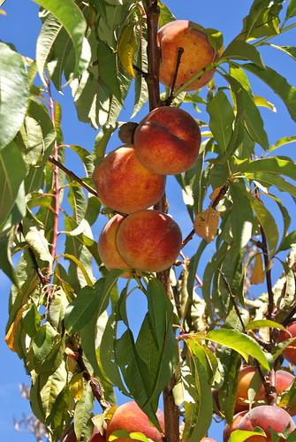 Peachy Peaches
