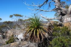 Richea padanifolia