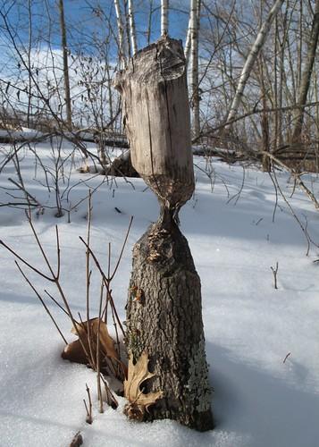 Chewed stump