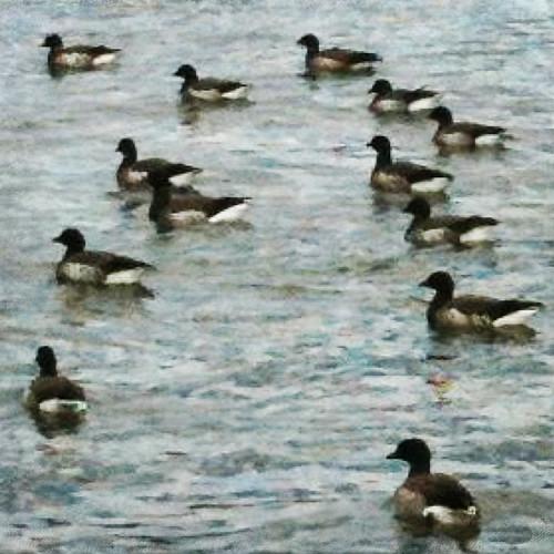 Ducks 76/365