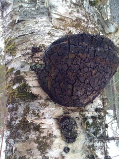 A black polypore fungus on a white birch...