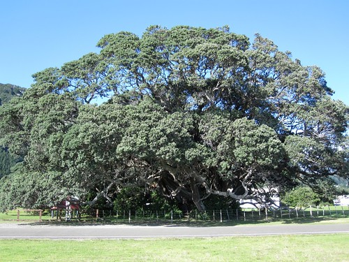Ancient Pohutakawa Tree