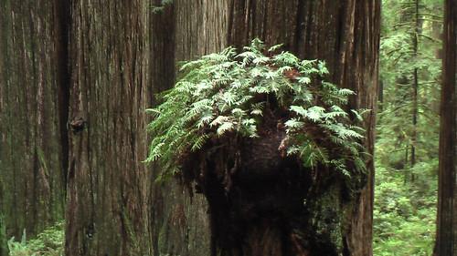 hiking Boy Scout Tree Trail, California
