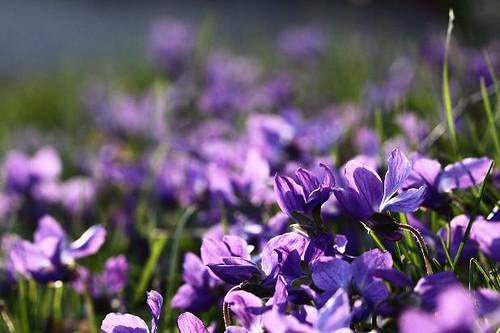 Wood Violet Petals 10