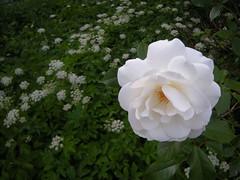 Giersch und weiße Rose
