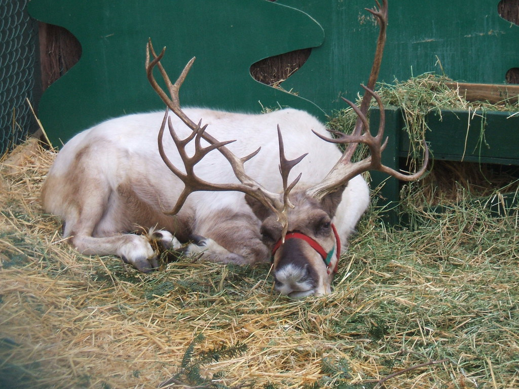 Sleepy Reindeer at Swanson's