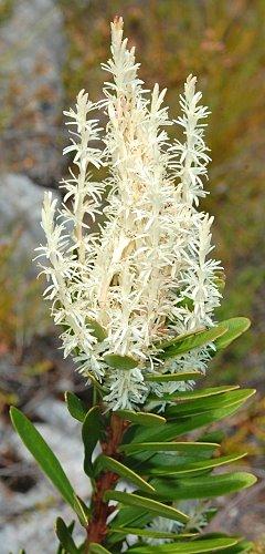 Agastachys odorata (Fragrant Candlebush)