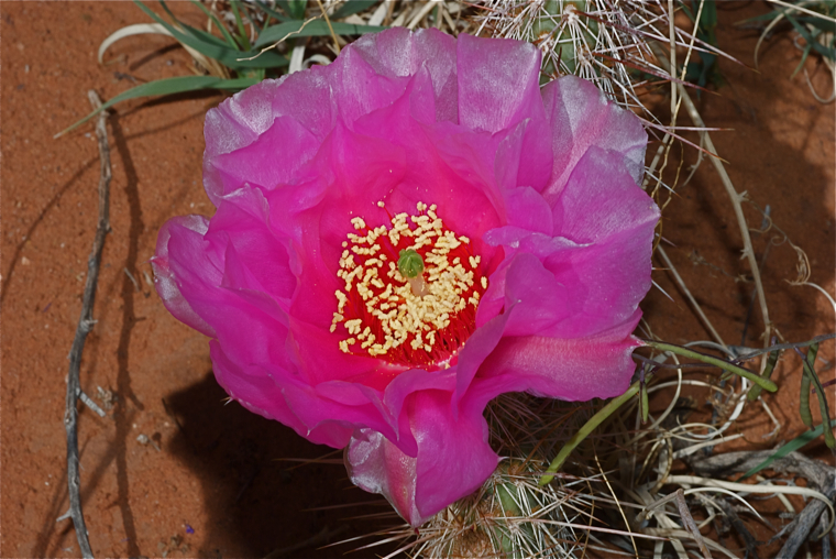 Tulip Pricklypear