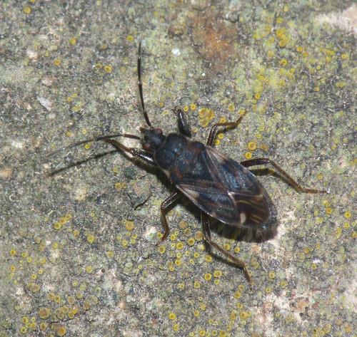 Groundbug (Eremocoris podagricus)