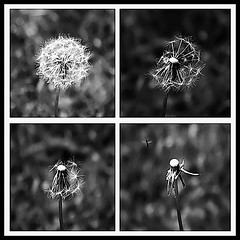 Life of Dandelion