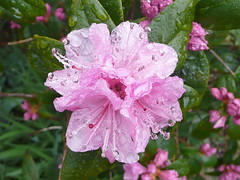 Raindrops on rhododendron