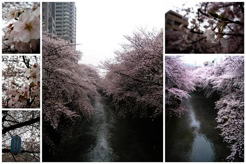 sakura along the river