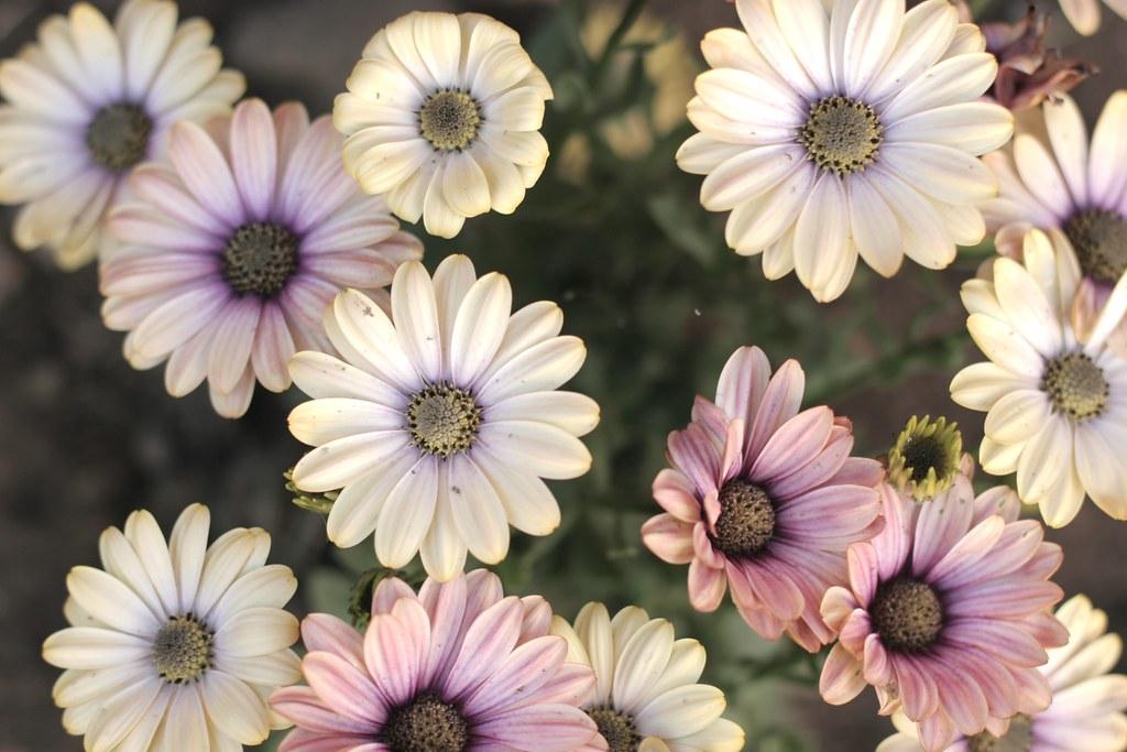 White daisies #1
