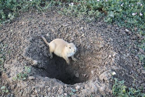 brave lil prairie dog