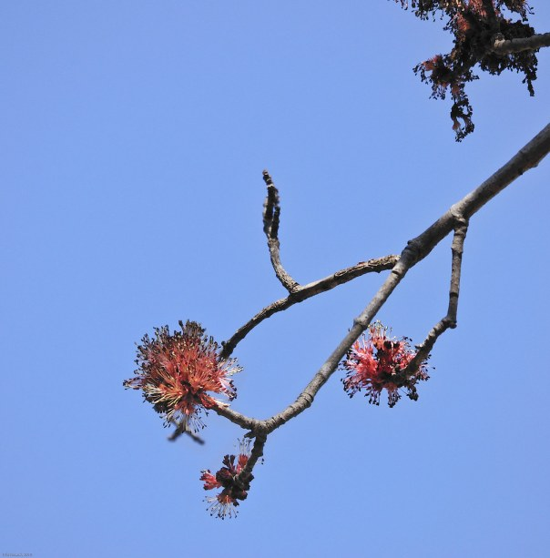 Red buds and blue spring sky 1