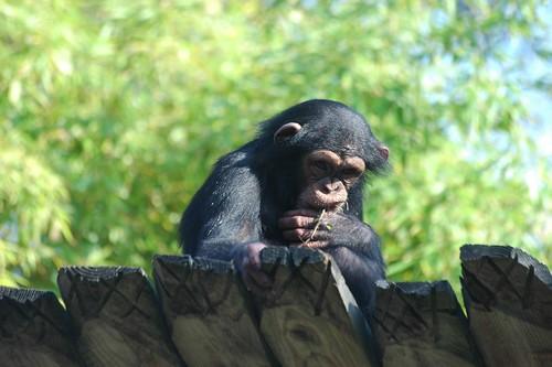 Schimpanse im Zoo de La Flèche