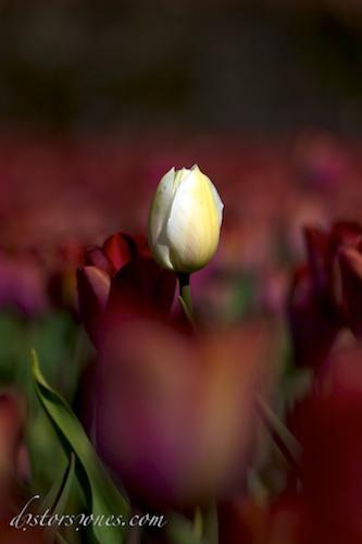 Aislar un tulipán