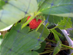 The first strawberry of the year