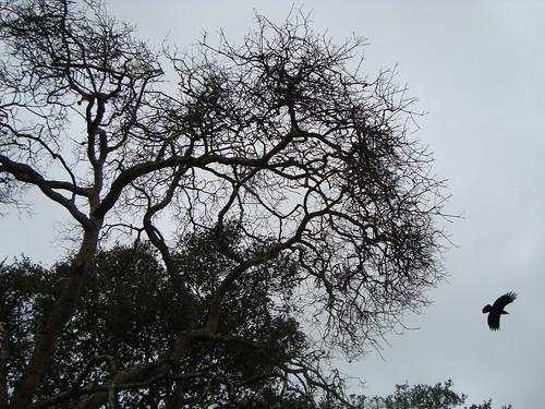 crow, Elkhorn