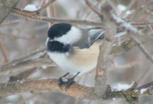 New Year's Black-capped Chickadee