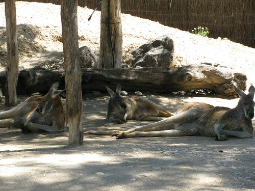 Kangaroos sleeping at the Melbourne Zoo