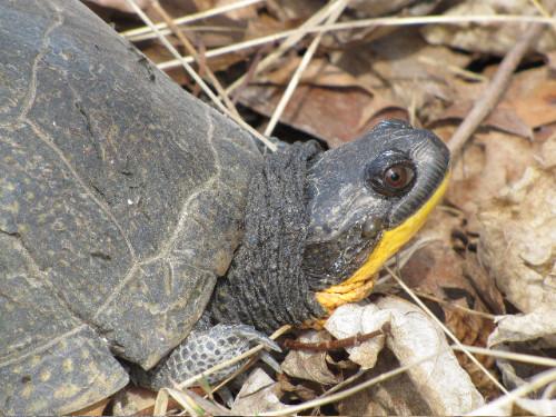 Blanding's Turtle (photo by Dan)
