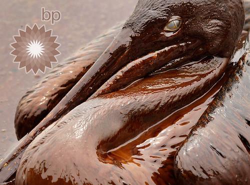bp = brown pelican