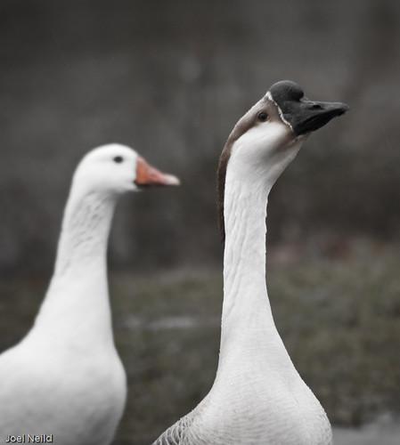 MMX 036 Duck's Day