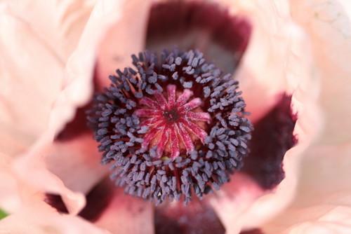Poppy pre-seeds