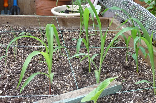 Sweetcorn planted out