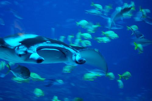 A manta ray.
