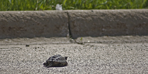 Snapper Crossing The Road