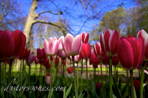 Es un bosque de tulipanes