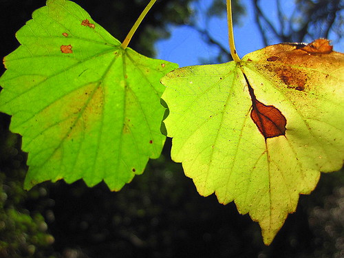 Leaf pair