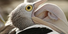 Pelican Tongue