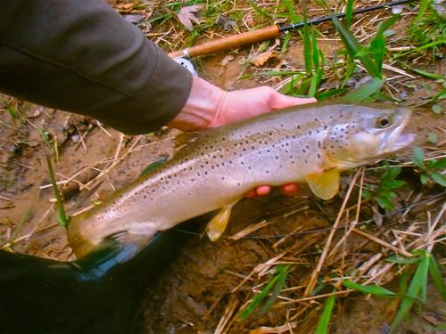 Big Wild Brown Trout