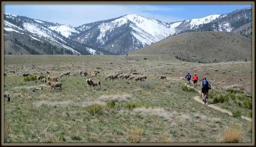 Sheep in Ash Canyon