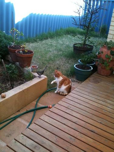 Felix hunting the wire wren in the garden
