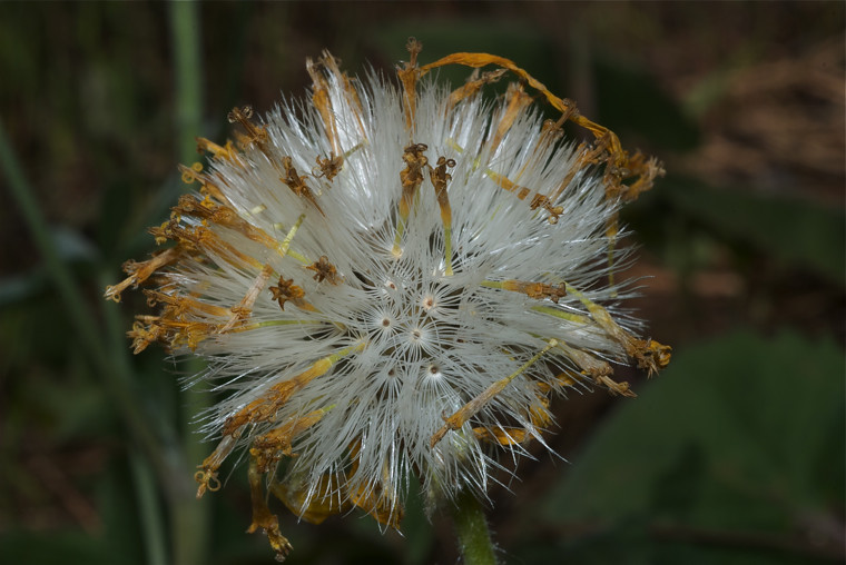 Heart-leaf Arnica (seed head)