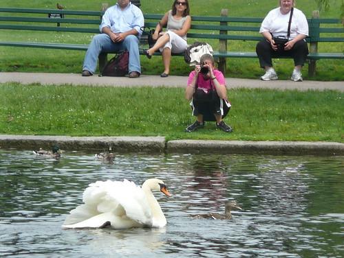 Swan chasing mallard hen
