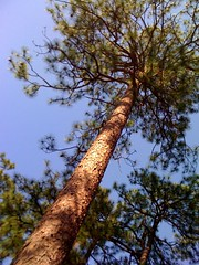 400+ Year Old Longleaf Pine